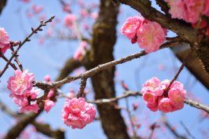 北野天満宮の梅 2月25日