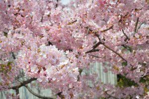東寺御影堂の河津桜