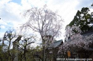 北野天満宮の桜2020