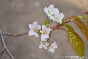 北野桜2018