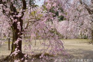 平安神宮神苑の桜2018