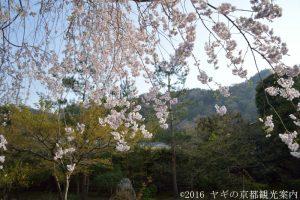 宝厳院の桜 2018