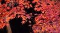 京都紅葉2019おすすめモデルコース3【赤紅葉】