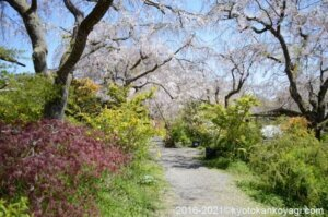 原谷苑の桜2021