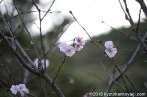 地主神社冬桜