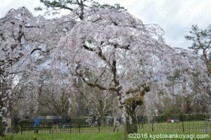 近衛邸の枝垂桜
