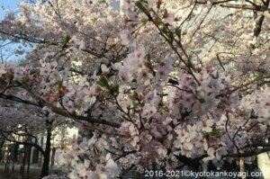 京都桜満開2021