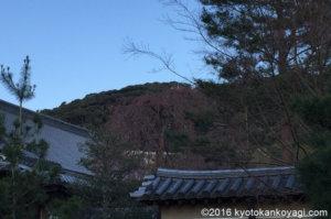 高台寺枝垂桜