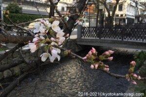 2021年京都桜開花